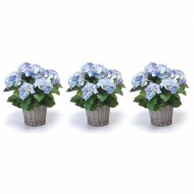 3x blauwe hortensia nepplant in mand 45 cm