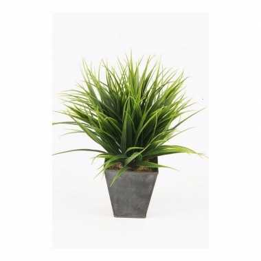 Gras nepplant in pot 30 cm