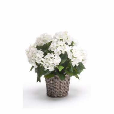 Witte hortensia nepplant in mand 45 cm