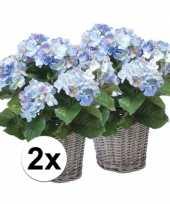 2x blauwe hortensia nepplant in mand 45 cm